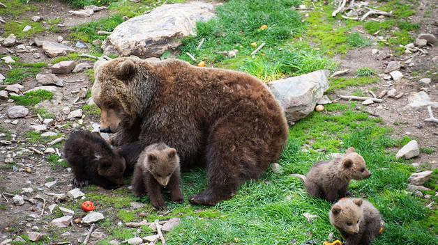 Cuatro crías de oso pardo en Naturlandia
